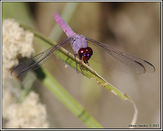 roseate skimmer | by NatureAli