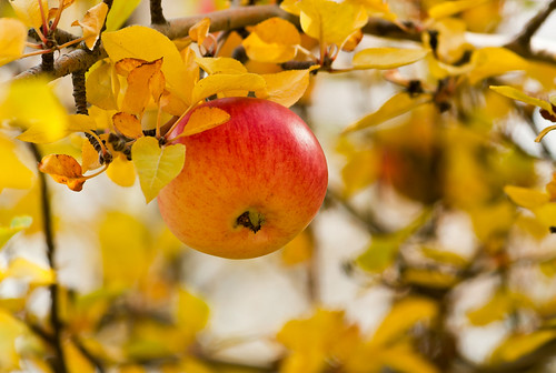 Autumn Apple Tree | by DaybreakDean.com