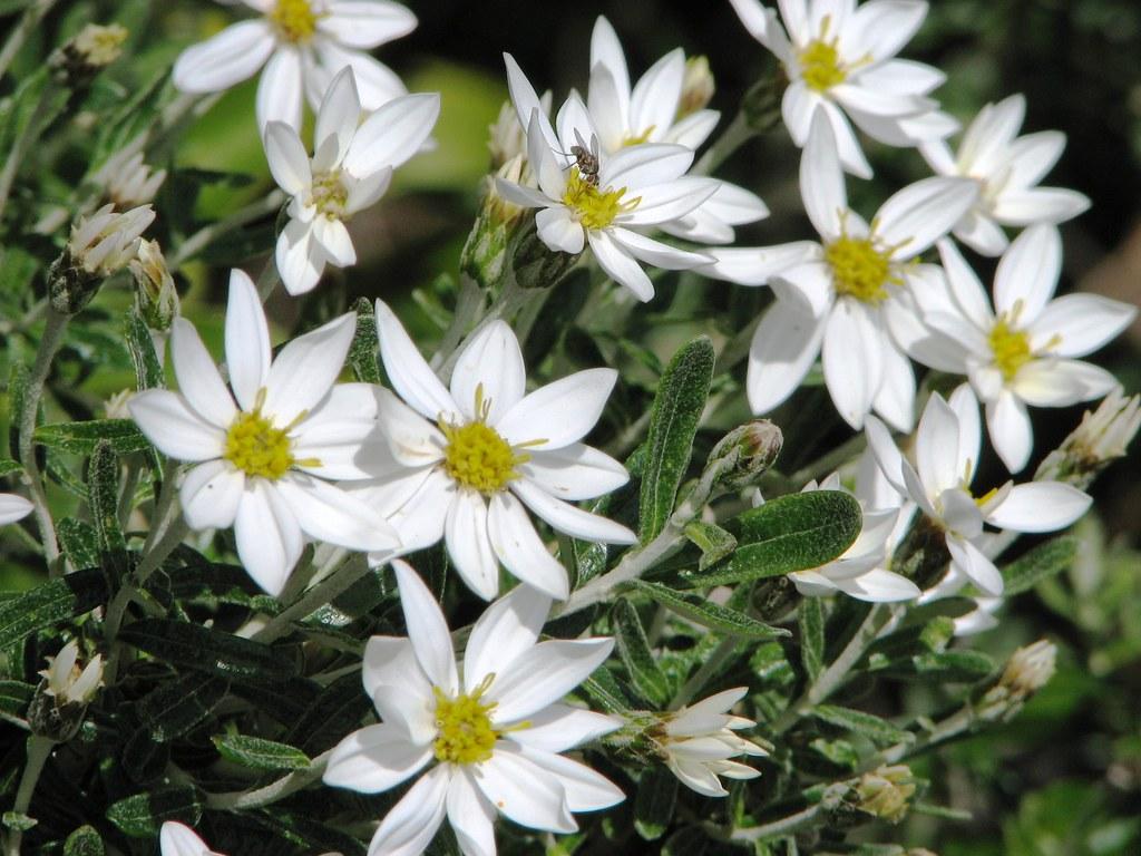 White Daisy Like Flower Chiliotrichum Diffusum Locatio Flickr