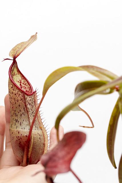 N. tobaica x tentaculata TK