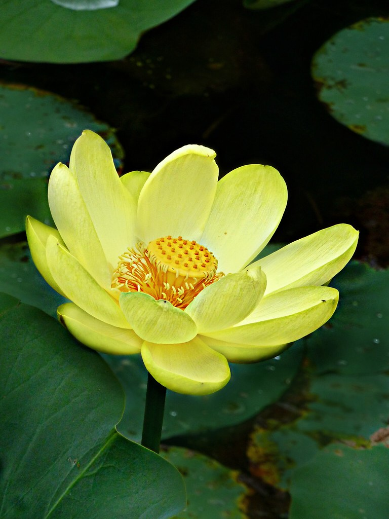 Nelumbonaceae Nelumbo Lutea American Lotus Flower Flickr