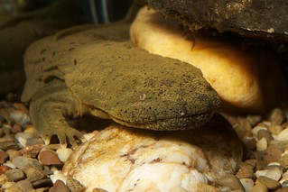 Hellbender at the National Zoo, Reptile Discovery Center | by brian.gratwicke