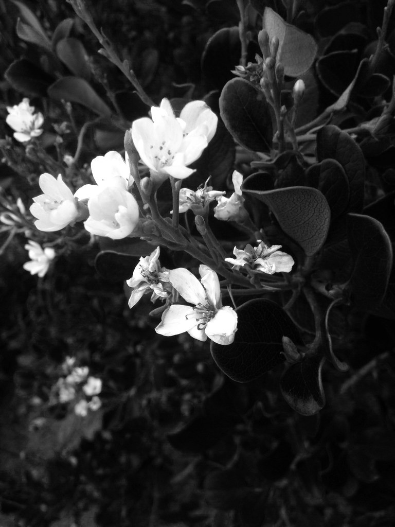 Black And White Flowers Lilyhamma Flickr