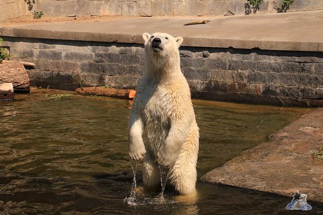 Eisbär Fiete im Zoo Rostock 04.06.2016   0185