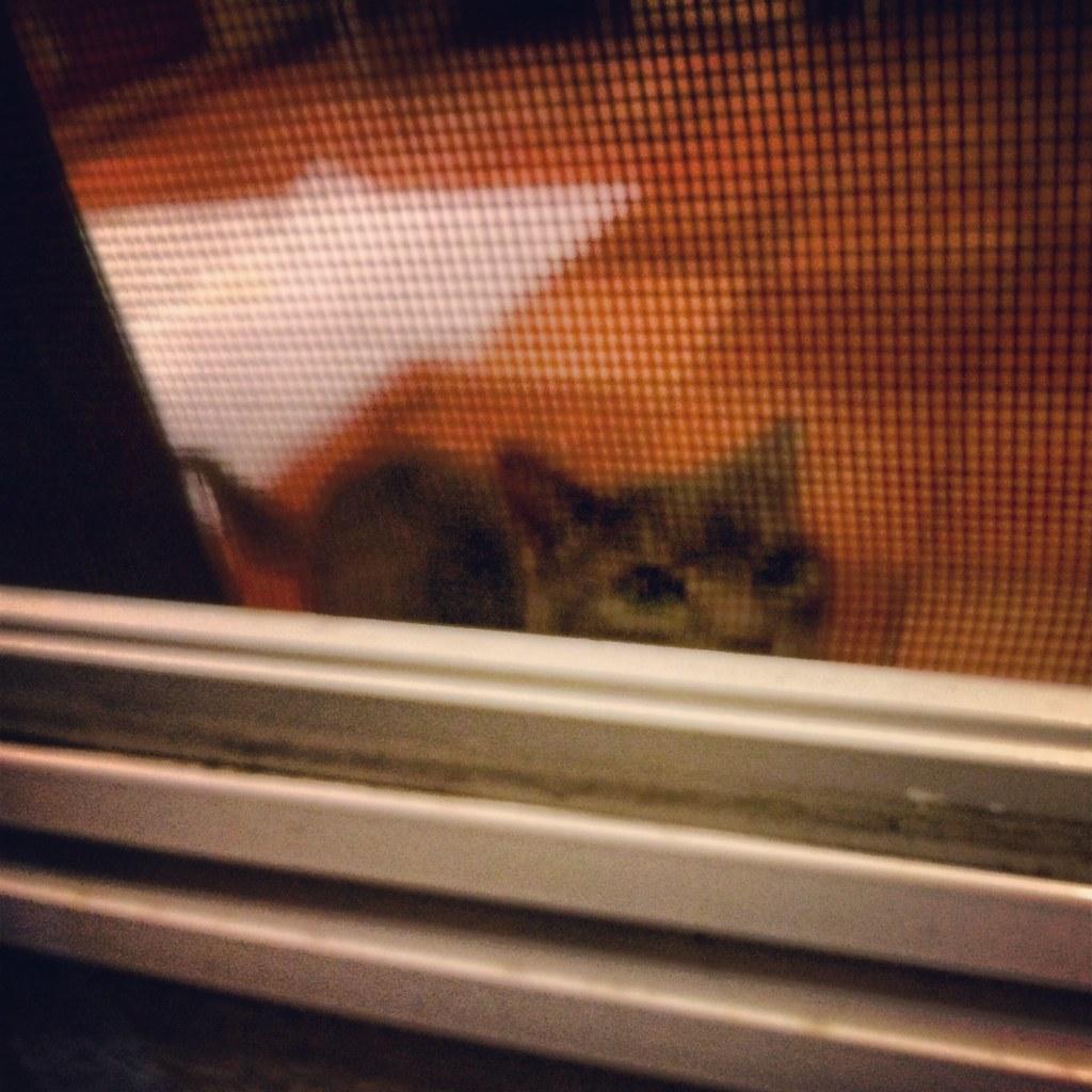 Cleo The Cat Peeking Through The Screen Door Lynn Friedman Flickr