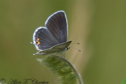 Everes comyntas (Eastern Tailed-Blue)