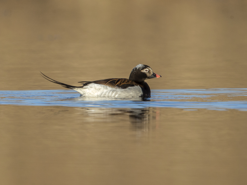 Long-tailed Duck   Iceland