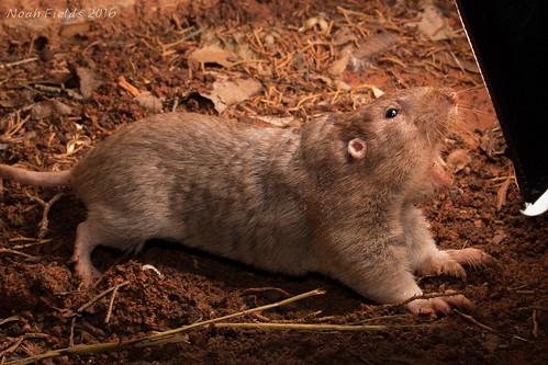 Plains Pocket Gopher (Geomys bursarius)