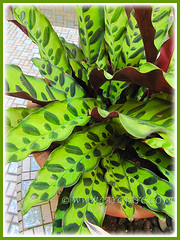 Potted Calathea lancifolia (Rattlesnake Plant) at our courtyard, 7 June 2013