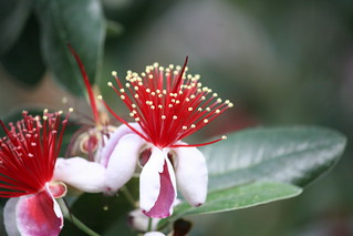 Guava Flower | by eyriel