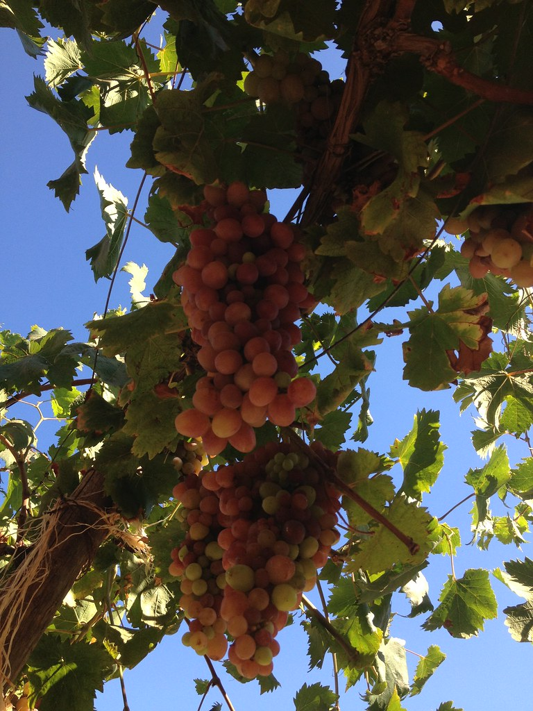 Grapes - Algeria | home grown grapes in garden - Algeria | Real Hedi ...