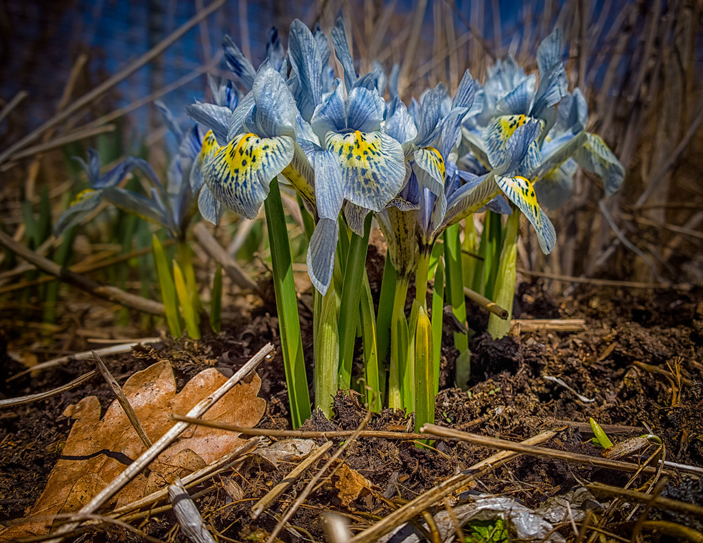 Iris,-Edwards-Gardens,-Toronto,-April-2014-WP_20140419_13_… | Flickr