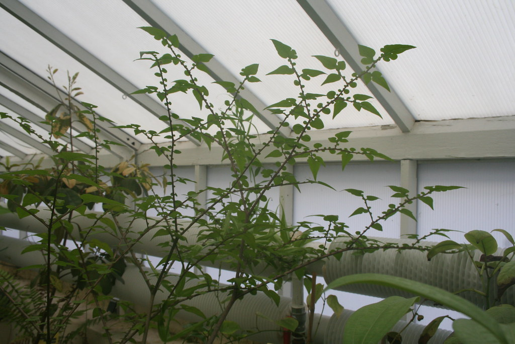 Botanische Tuin Delft : Amorphophallus bulbifer botanische tuin delft amorphophau2026 flickr