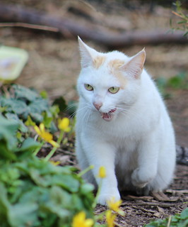 white feral cat in Morningside Park hissing at another cat | by @harryshuldman