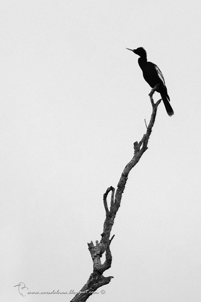 Aninga (Anhinga) Anhinga anhinga