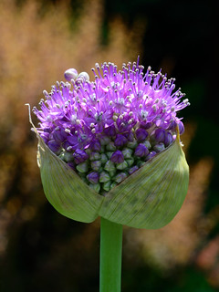 Packaged Allium | by Eddie C3