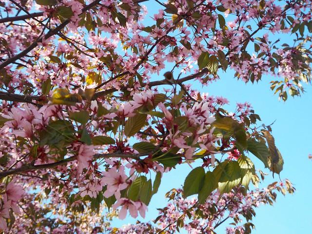 cherryblossomP5125123,japanesestylegardenP5124841,cherryblossomP5124847, cherry blossom, kirsikkapuu, kirsikan kukka, helsinki, roihuvuori, finland, suomi, hanami, helsinki tips, cherry park, japanese style garden, cherry tree park, cherry park, cherry trees, kirsikankukka puu, blooming, kukkia, vaaleanpunainen, pinkki, kukka, flower, cherry blossom helsinki, blue sky, sininen taivas, may, toukokuu, kesä, summer, kevät, spring, suomi, cherry woods, kirisikkapuisto, roihuvuori, japanilaistyylinen puutarha,