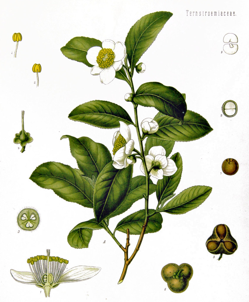 Tea Tree Drawing
