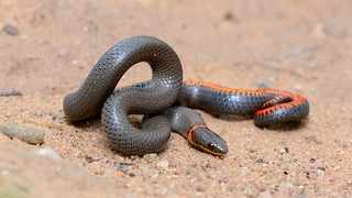 Prairie Ring-necked Snake | by amdubois01