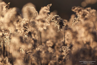 Backlit Reeds | by The Autodidact Photographer