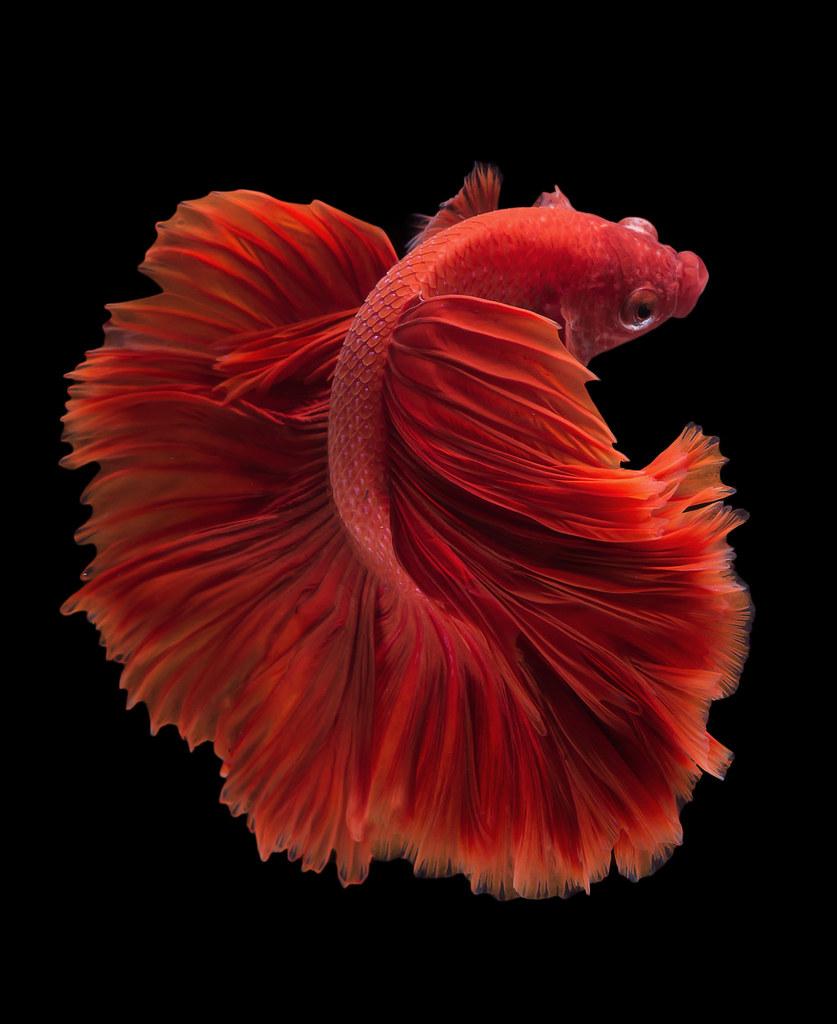 Halfmoon betta fish | Red halfmoon Betta fish on black backg… | da ...