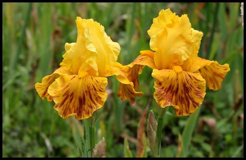 Iris broken color 27307346610_36500e2ece