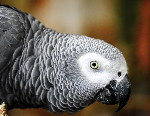 African Grey Parrot | by Charles Patrick Ewing