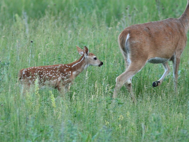 Whitetail Deer fawn following mother 20160616