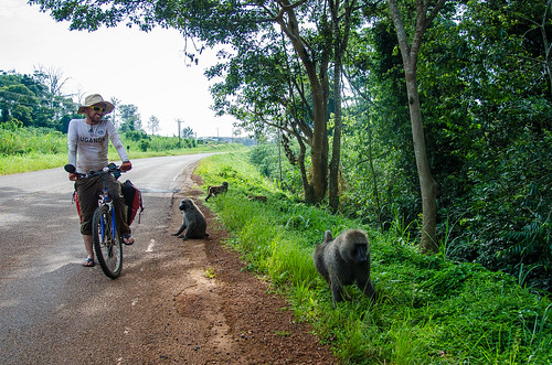 Close Encounter with Baboons | by BetterLifeCycle