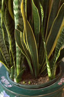 Sansevieria trifasciata [Mother-in-law's Tongue] | by jalexartis