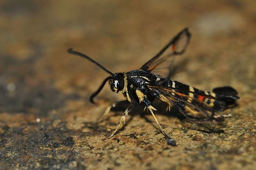 Yellow Legged Clearwing | by markhows