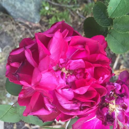 #lareinevictoria or #lareine # rose 🌹(I forget.)