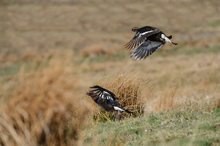 Black Grouse in flight, Upper Teesdale, County Durham (Looks better large on black) | by Tim Melling