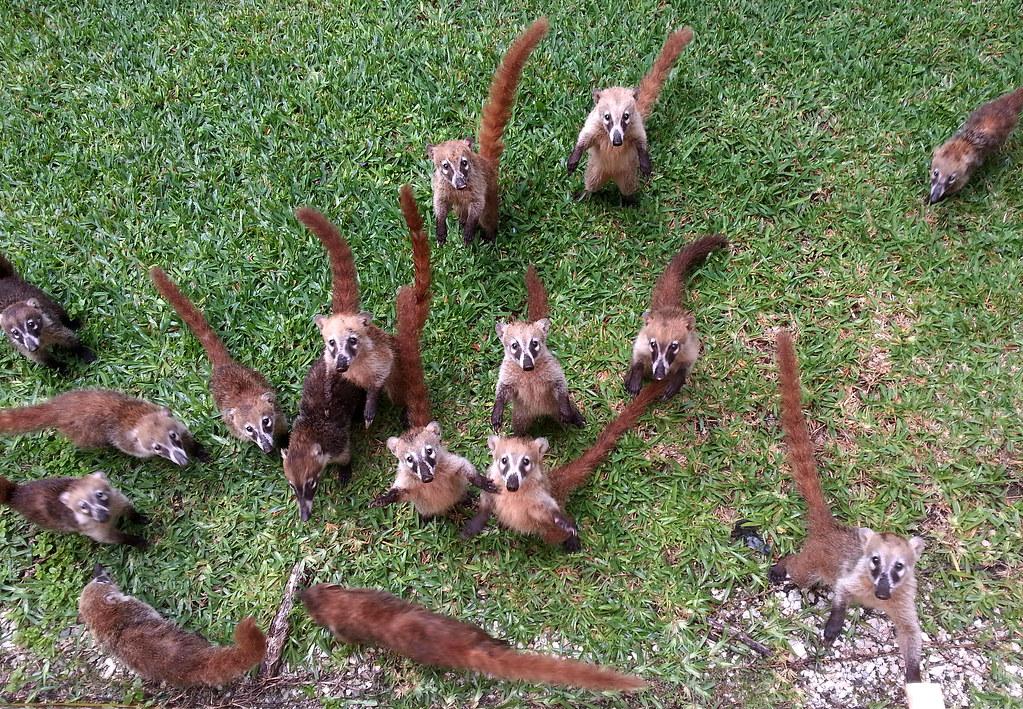 Coati Attack