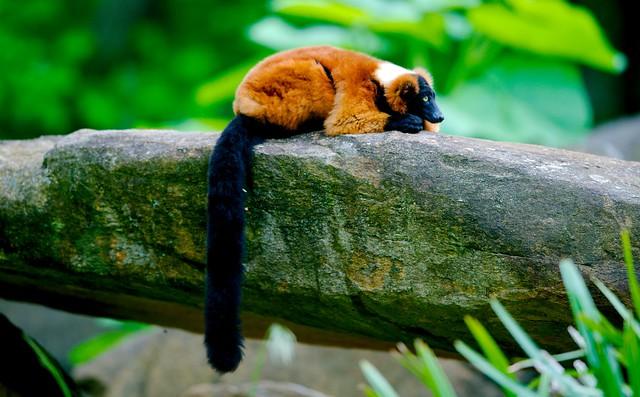 Red Ruffed Lemur_1