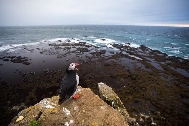 Puffins at Iceland's Látrarbjarg Cliffs