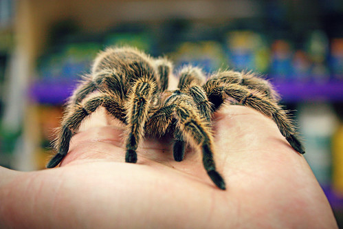 Tarantula from 'Breaking Bad' | by K. Sawyer Photography