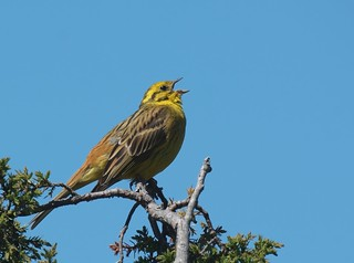 Gulsparv / Yellowhammer | by Stefan Berndtsson