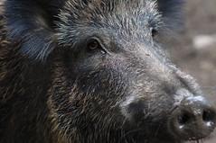 Wildes Schwein