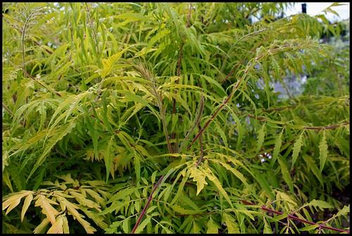 Rhus Typhina 'Dissecta Aurea' (2)