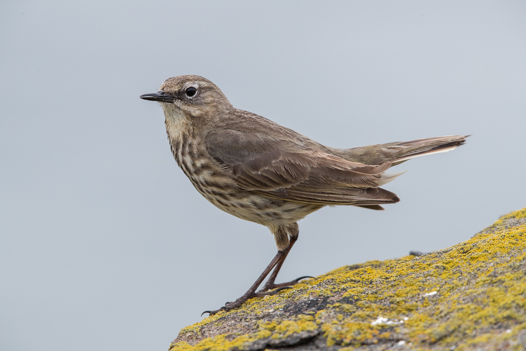 Rock Pipit Isle of May,Scotland 2016