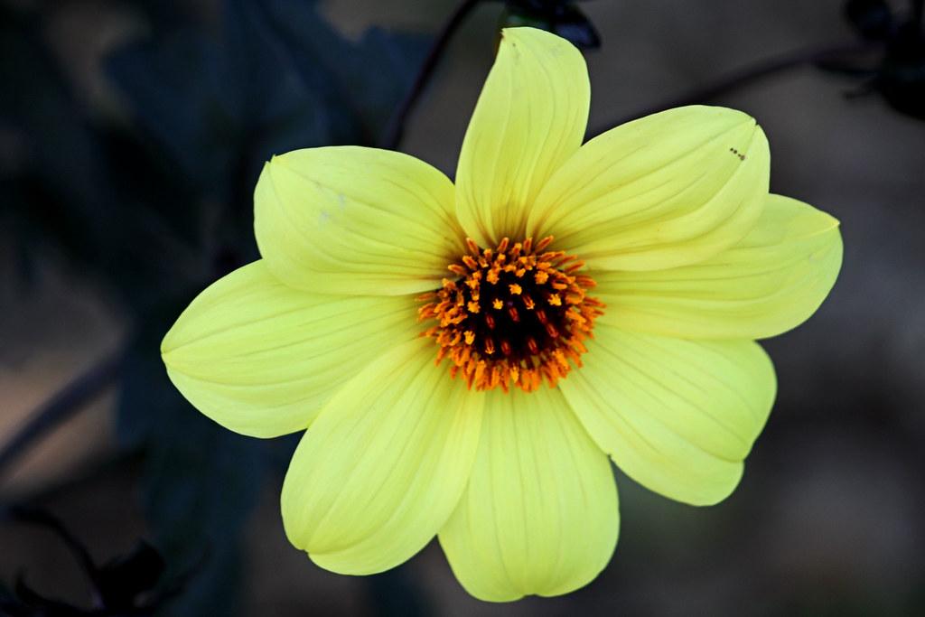 8 petals yellow flower south coast botanic garden palos flickr 8 petals yellow flower by alexandra rudgeanks x 7 millon viewersl mightylinksfo