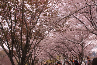 Ohanami, May 2014 | by crschmidt