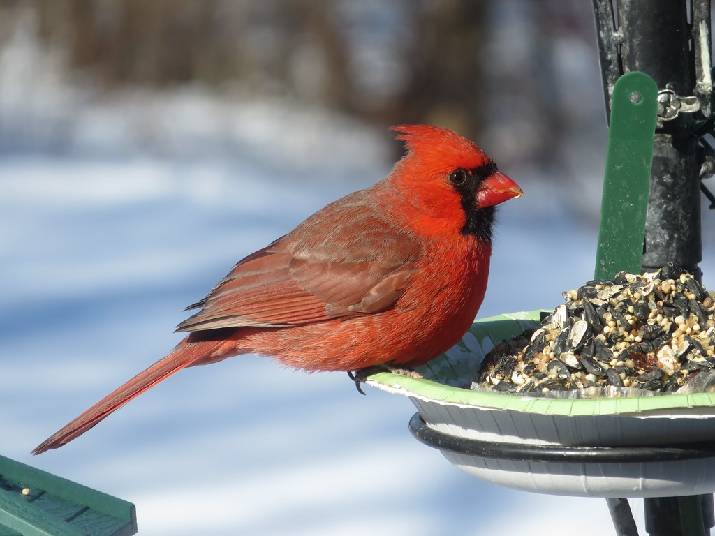 the cardinal illinois state bird sooc taken on february 1 flickr