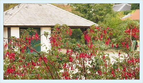 paris jardin catherine laboure fuchsia magellanica flickr. Black Bedroom Furniture Sets. Home Design Ideas