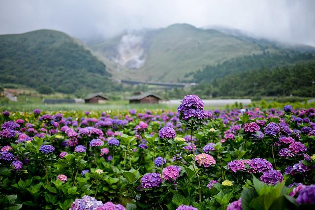 陽明山竹子湖繡球花
