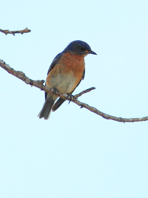 Western Bluebird 2-20160619