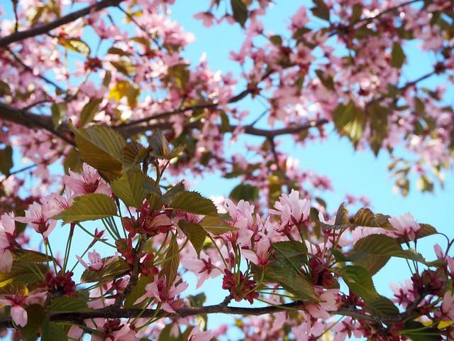 candytreesP5125127,candygirlcherrytreepark2P5125066, cherry park, helsinki, suomi, finland, roihuvuori, kirsikkapuisto, cherry tree park, kirsikkapuu puisto, blossom, kukinta, sakura, itä-helsinki, east helsinki, lovely, ihana, green, pink, vihreä, pinkki, sun, aurinko, flowers, kukat, blossom, kukinta, may, toukokuu, kevät, spring, vaaleanpunainen, takki, coat, light pink, pale pink, cherry blossom girl, kirsikankukka tyttö, nature, luonto,