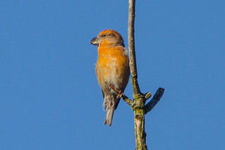 Parrot Crossbill (Loxia pytyopsittacus) | by sussexbirder