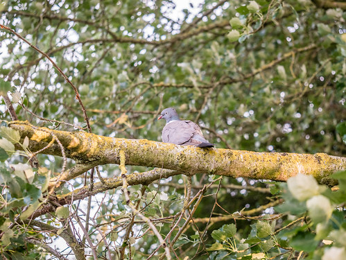Scruffy Pidgeon | by Scrivlings